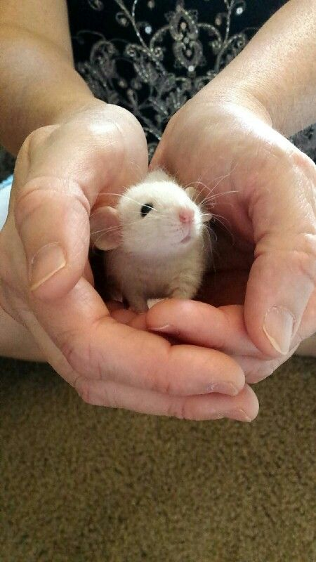 Gizmo, a Siamese dumbo rat, the cutest ever! Pet rats