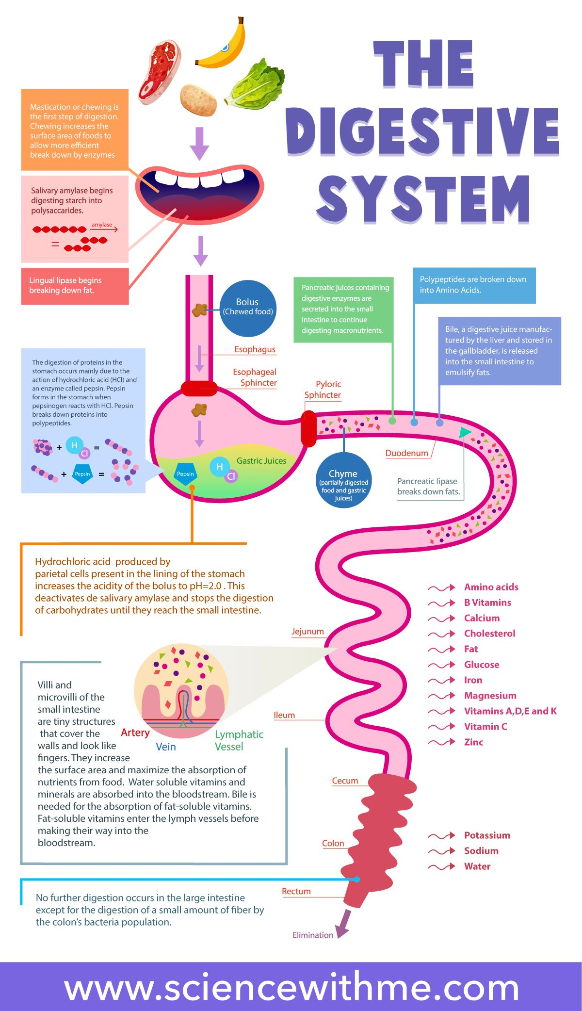 The Digestive System Is A Group Of Organs Working Together