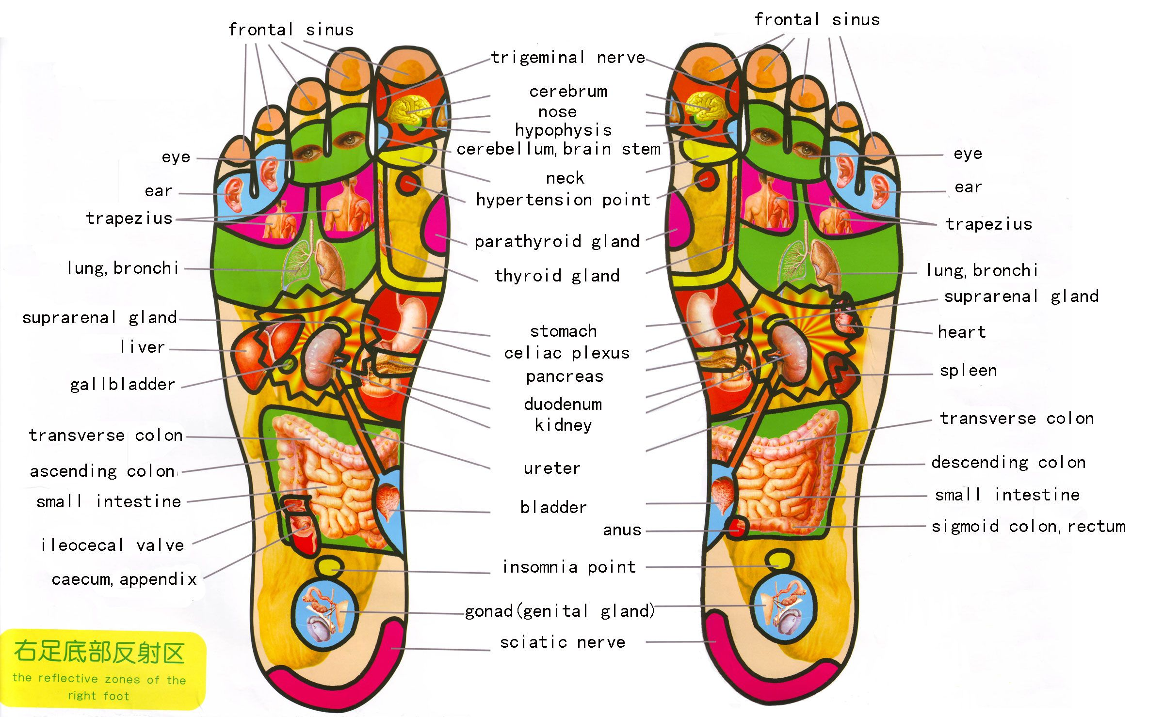 ea57071659dd324148f8c03700dfbd9b the reflective zones of the right and left foot,reflexology,foot