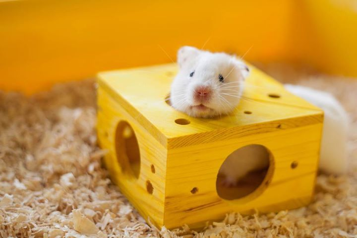 My Hamster Magpie Loves This Toy Cute Hamsters Hamster Care Hamster