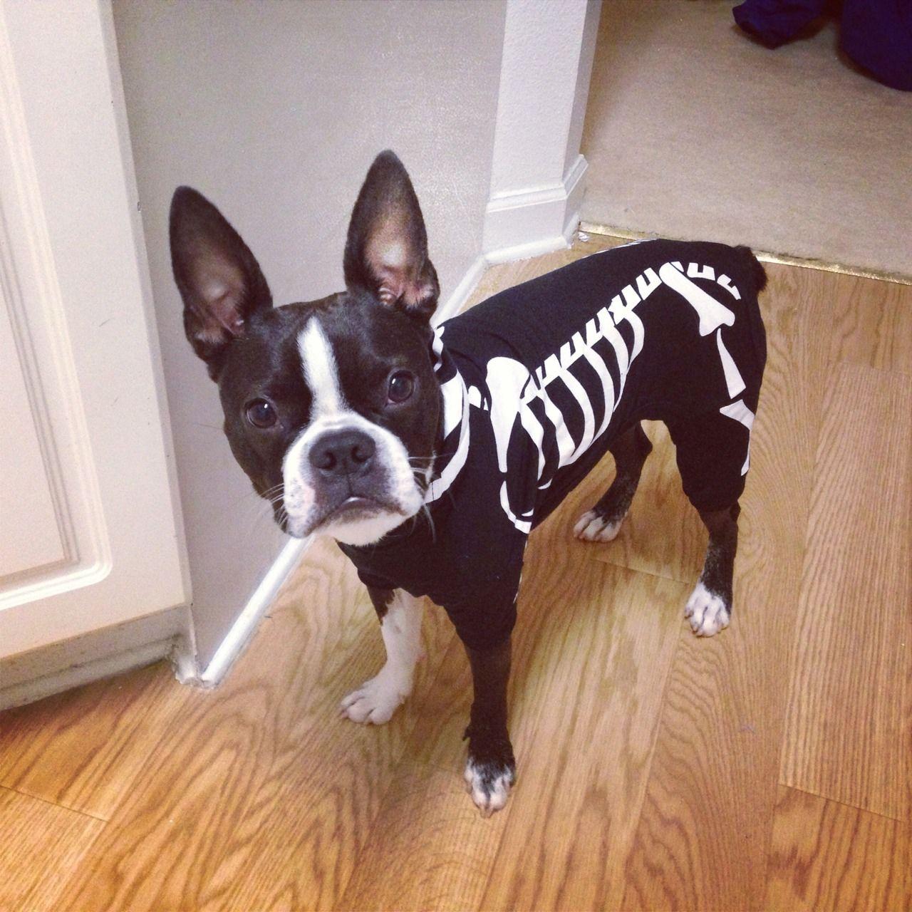 boston terrier dog breed information skeleton costumeshalloween - Halloween Costumes In Boston