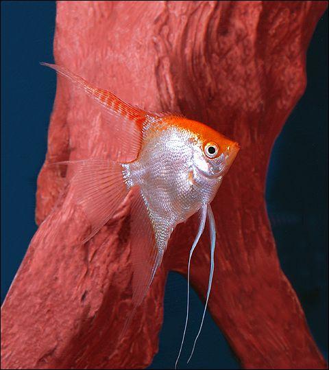 Gold Veiltail Angel Angel Fish Freshwater Fish Oscar Fish