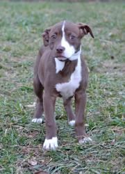 Adopt Coco Puff On Pitbull Terrier Terrier Mix Dogs Bull