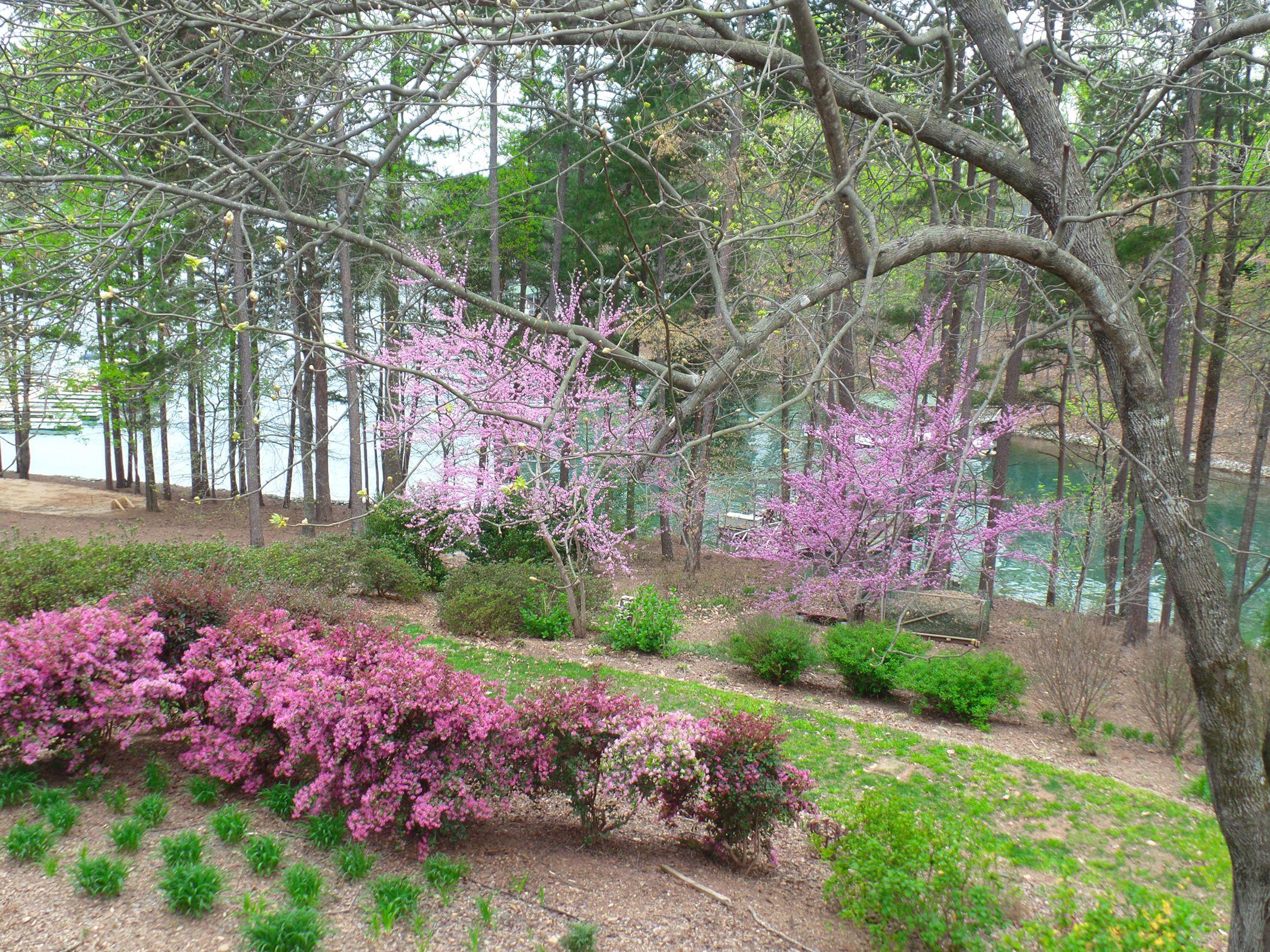 Redbud Trees And Loropetalum Bloom Early In South Carolina My