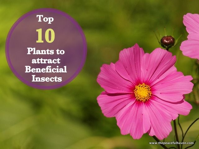 Top 10 Plants For Attracting Beneficial Insects The Peaceful Haven Attracting Beneficial Insects Plants Beneficial Insects