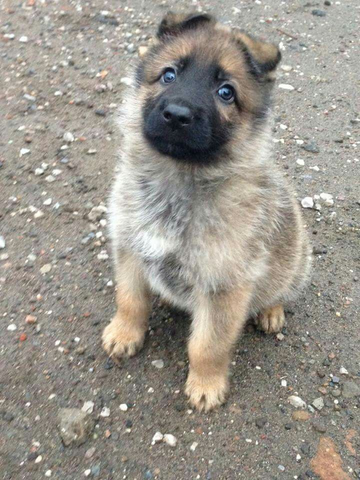 Resultado de imagen para German Shepherd Hund i bilen