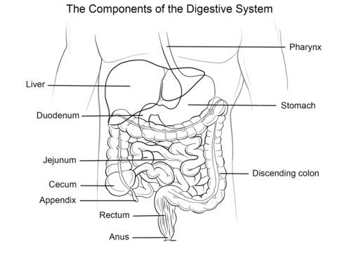 Human Digestive System coloring page from Anatomy category