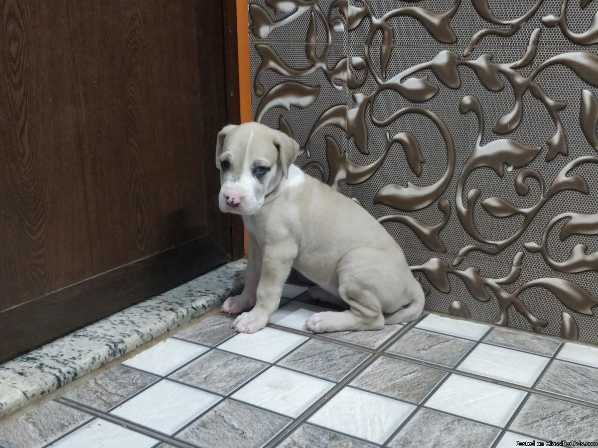 Great Dane Male And Female Puppies Available Rottweiler Puppies