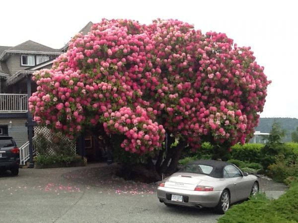 Tree Rhododendron Kitchener Street Ladysmith Canada Didn T