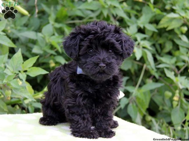 Yorkie Poo Puppies For Sale Zoe Fans Blog With Images Yorkie