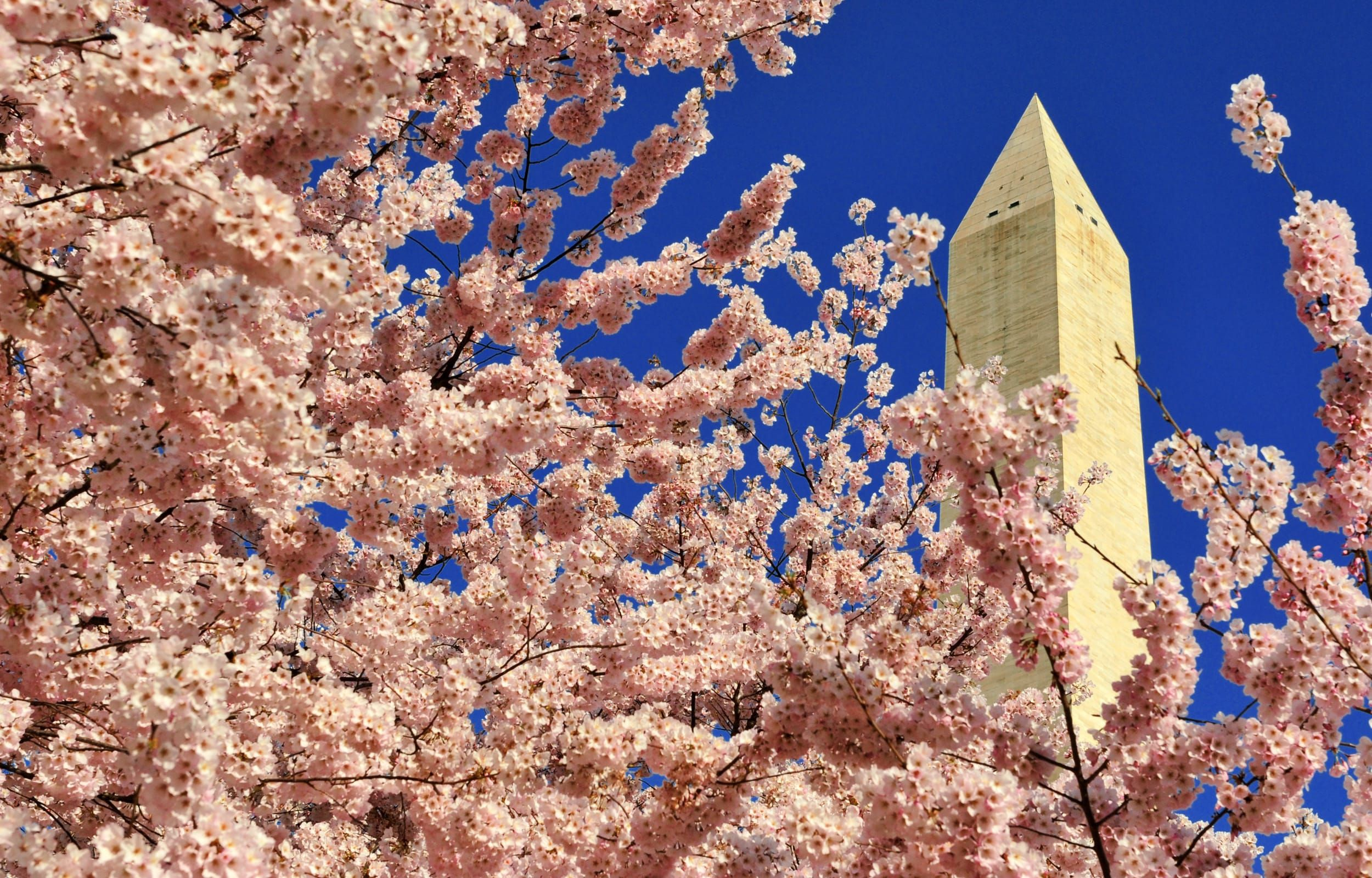 Vintage Washington Dc Postcard Japanese Cherry Trees In Bloom Unused Japanese Cherry Tree Japanese Cherry Scenic Views