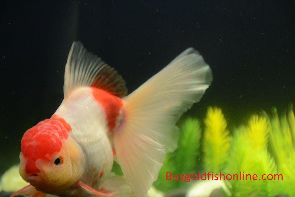 Red And White Thai Oranda Goldfish Buygoldfishonline Com Goldfish Oranda Goldfish Buy Goldfish