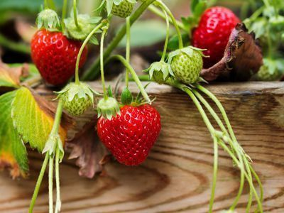 This Is How to Grow Delicious Strawberries in Containers #growingstrawberriesincontainers Growing Strawberries in Containers #growingstrawberriesincontainers This Is How to Grow Delicious Strawberries in Containers #growingstrawberriesincontainers Growing Strawberries in Containers #growingstrawberriesincontainers This Is How to Grow Delicious Strawberries in Containers #growingstrawberriesincontainers Growing Strawberries in Containers #growingstrawberriesincontainers This Is How to Grow Delici #growingstrawberriesincontainers