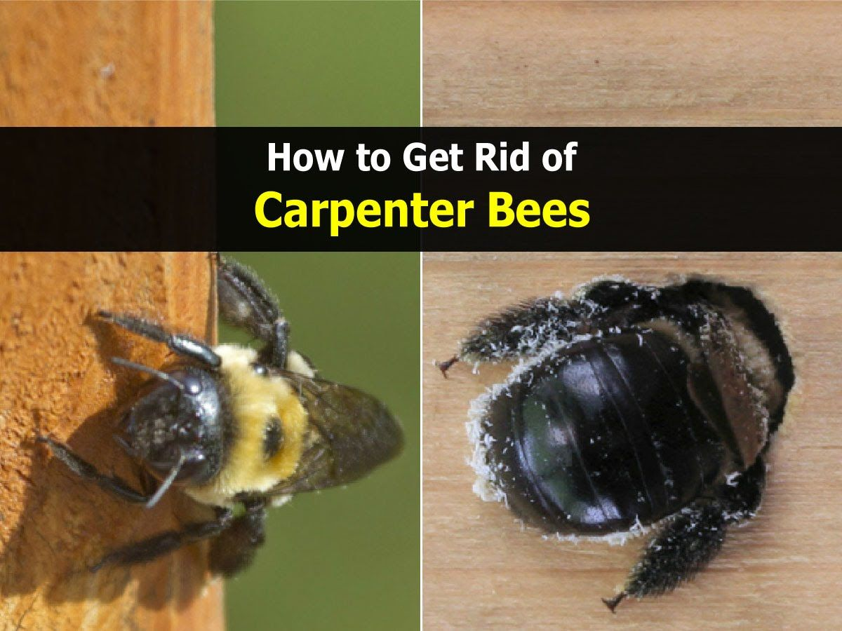 How To Get Rid Of Carpenter Bees Home Remedies Carpenter Bee Wood Bees Bee