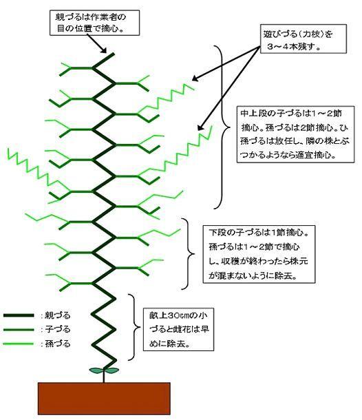 きゅうりの摘心の図解とイラスト 摘心 栽培 野菜
