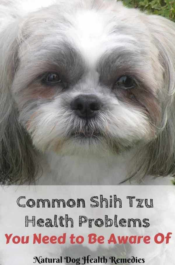 Shih Tzu Health Problems And Lifespan