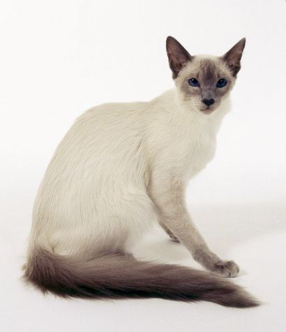 20 Most Affectionate Cat Breeds In The World Balinese Cat Cat