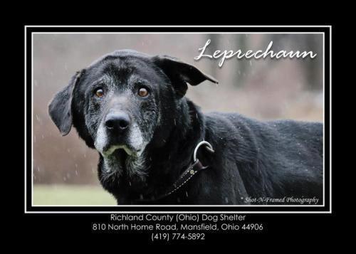 Ohio Urgent Leprechaun Is An Adoptable Senior In Mansfield