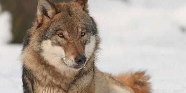 L'Italia non è un paese per lupi: al via l'abbattimento controllato (#soslupo)