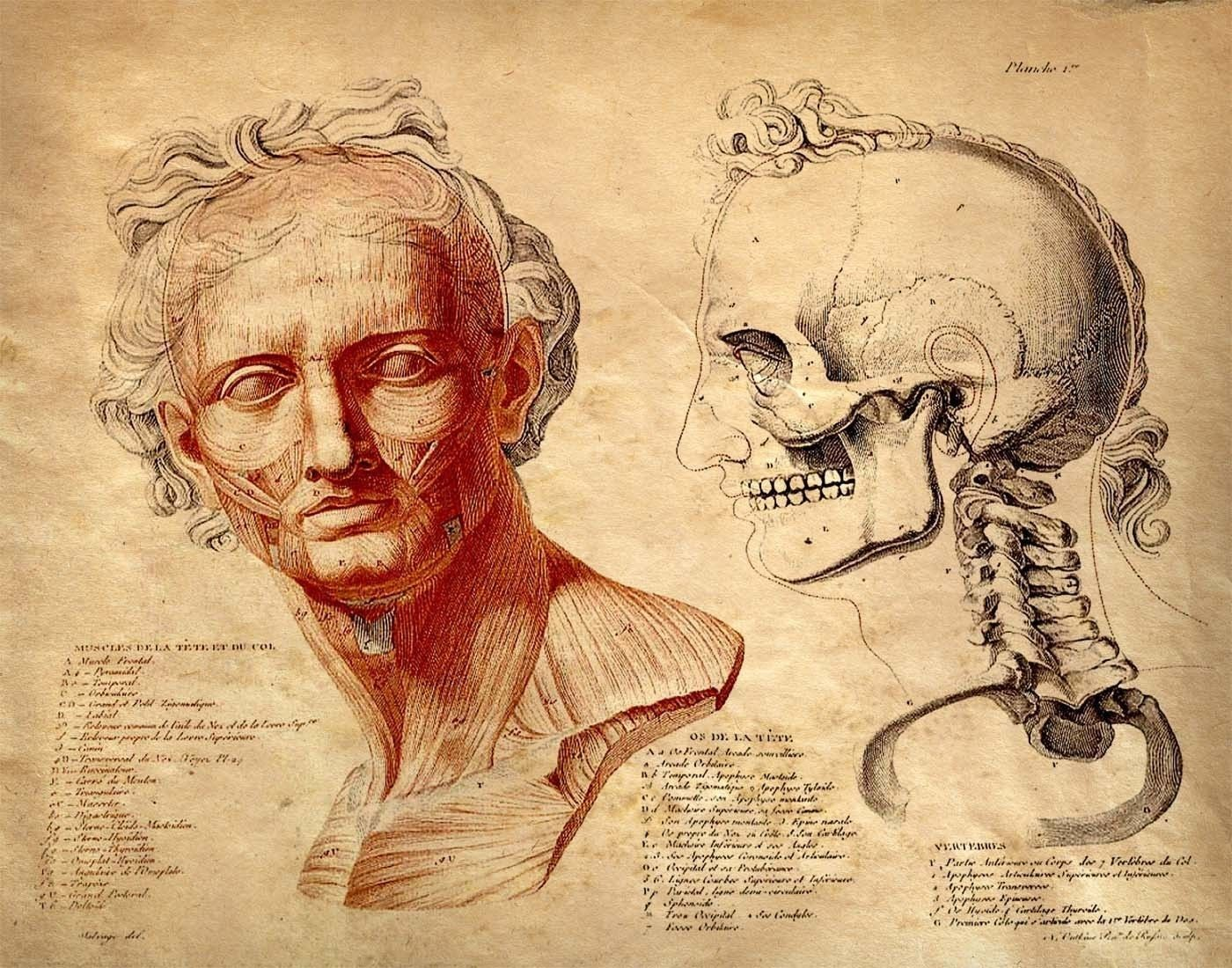 Vintage anatomy human body facial muscles and skull science and facial muscles and skull science and medicine 11x14 pooptronica