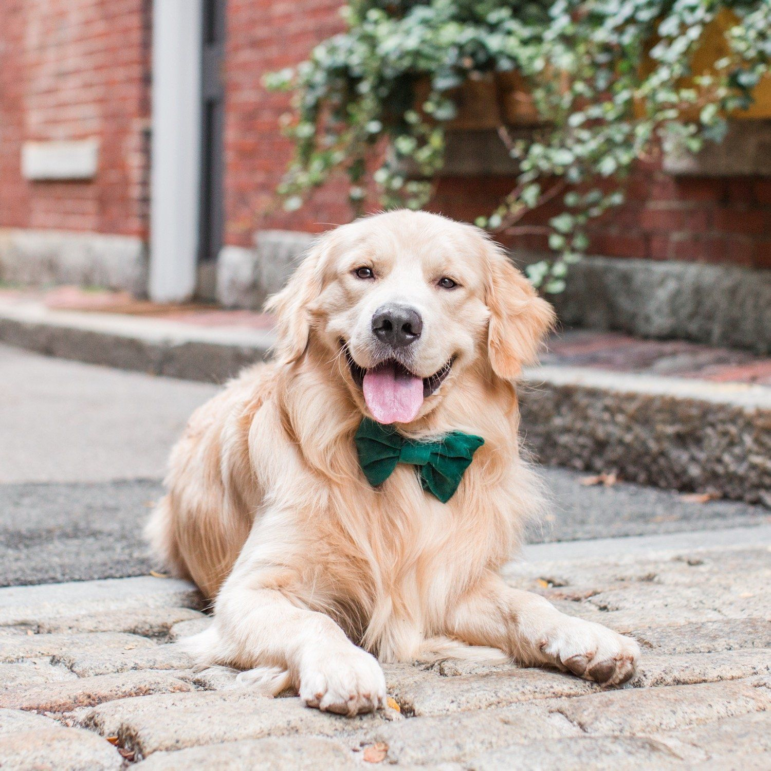 Forest Green Velvet Dog Bow Tie Dog Bows Dog Bowtie Dogs