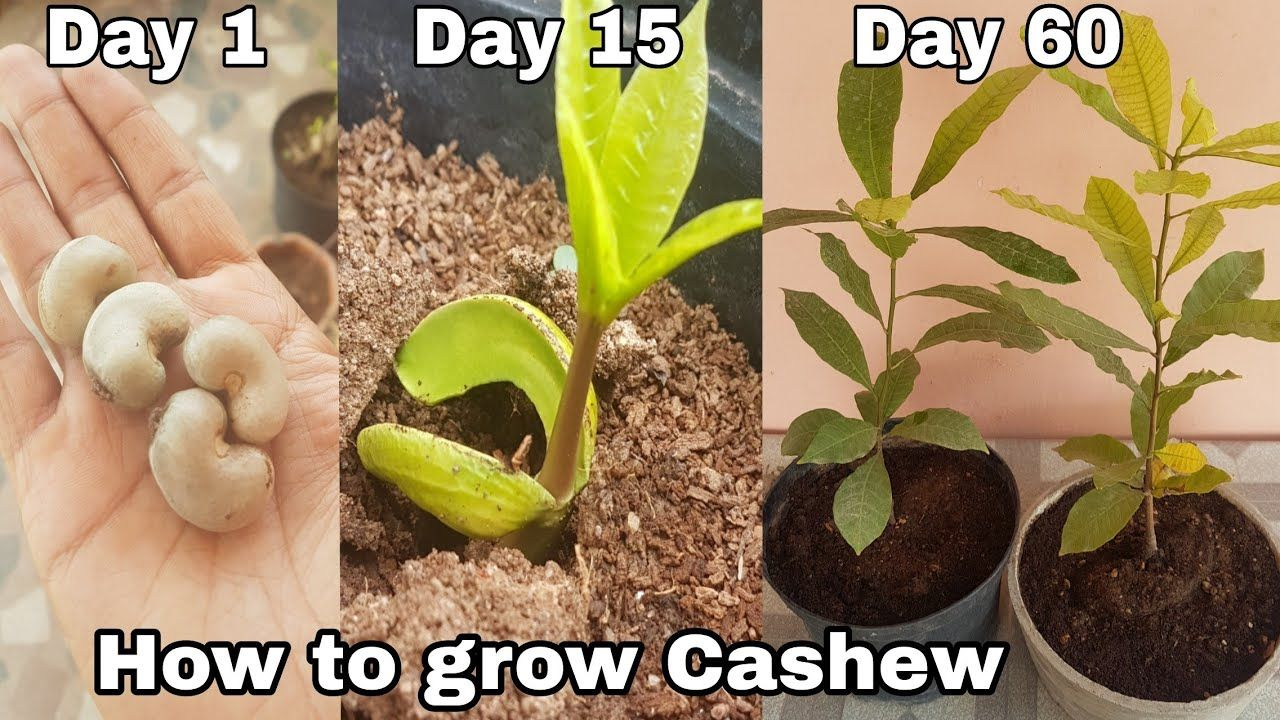 How to grow Cashew plant at home, how to grow Cashew tree