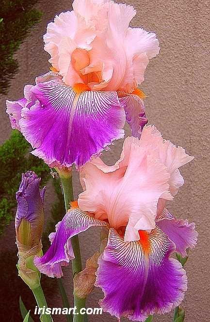 World Of Irises Strikingly Beautiful Flowers Iris Flowers Bearded Iris Beautiful Flowers