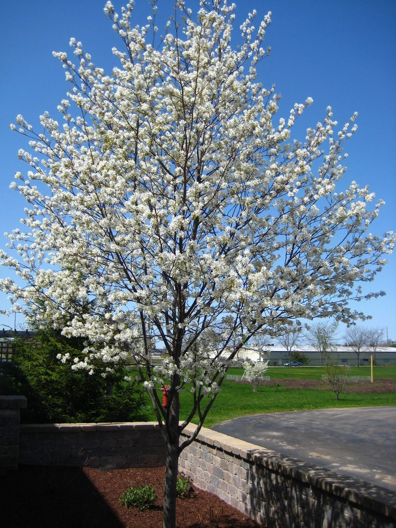 Amelanchier lamarckii g a r d e n small trees for Small garden trees rhs