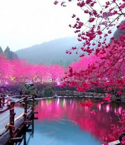 23july14 - Cherry Blossoms in Japan...