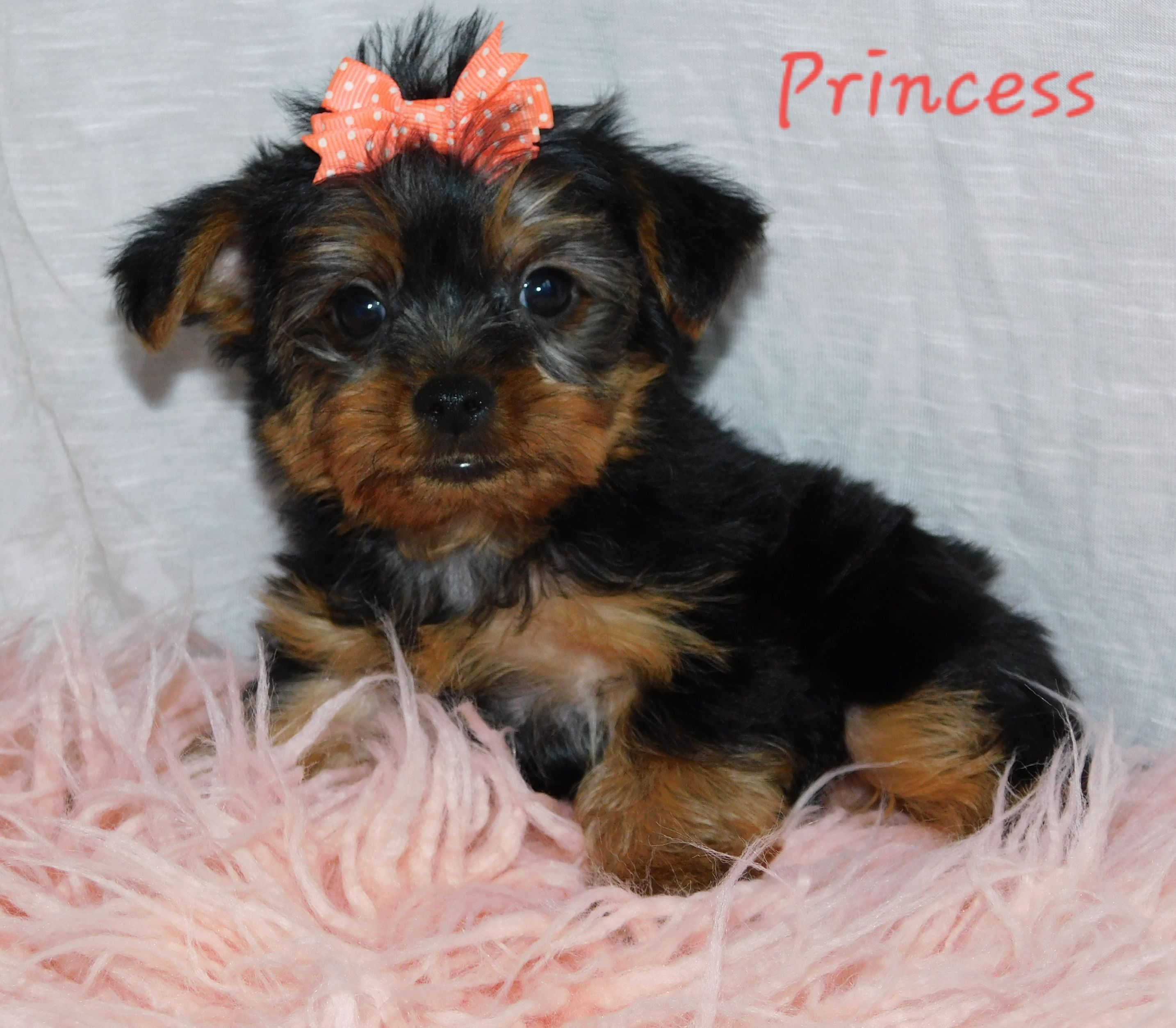 Puppies For Sale Yorkshire Terrier Puppies Puppies Lancaster Puppies