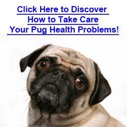 The Six Most Common Pug Eye Problems That Every Owner Should Be