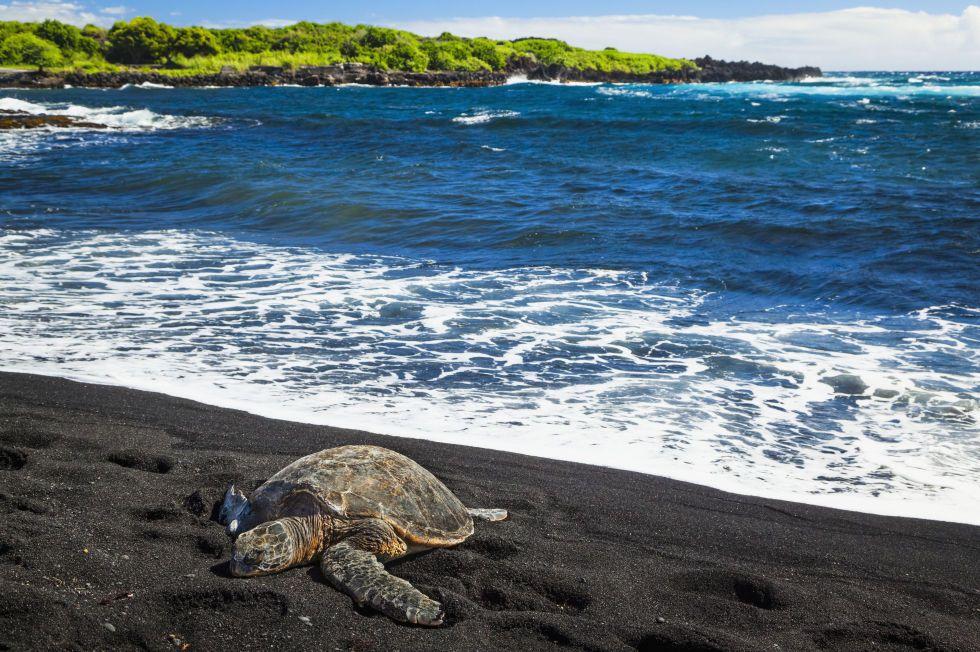 Punalu U Black Sand Beach Park Hawaii With Coconut Groves And Nesting Sea