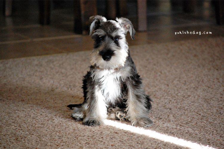 how cute Animals, Dogs, Schnauzer