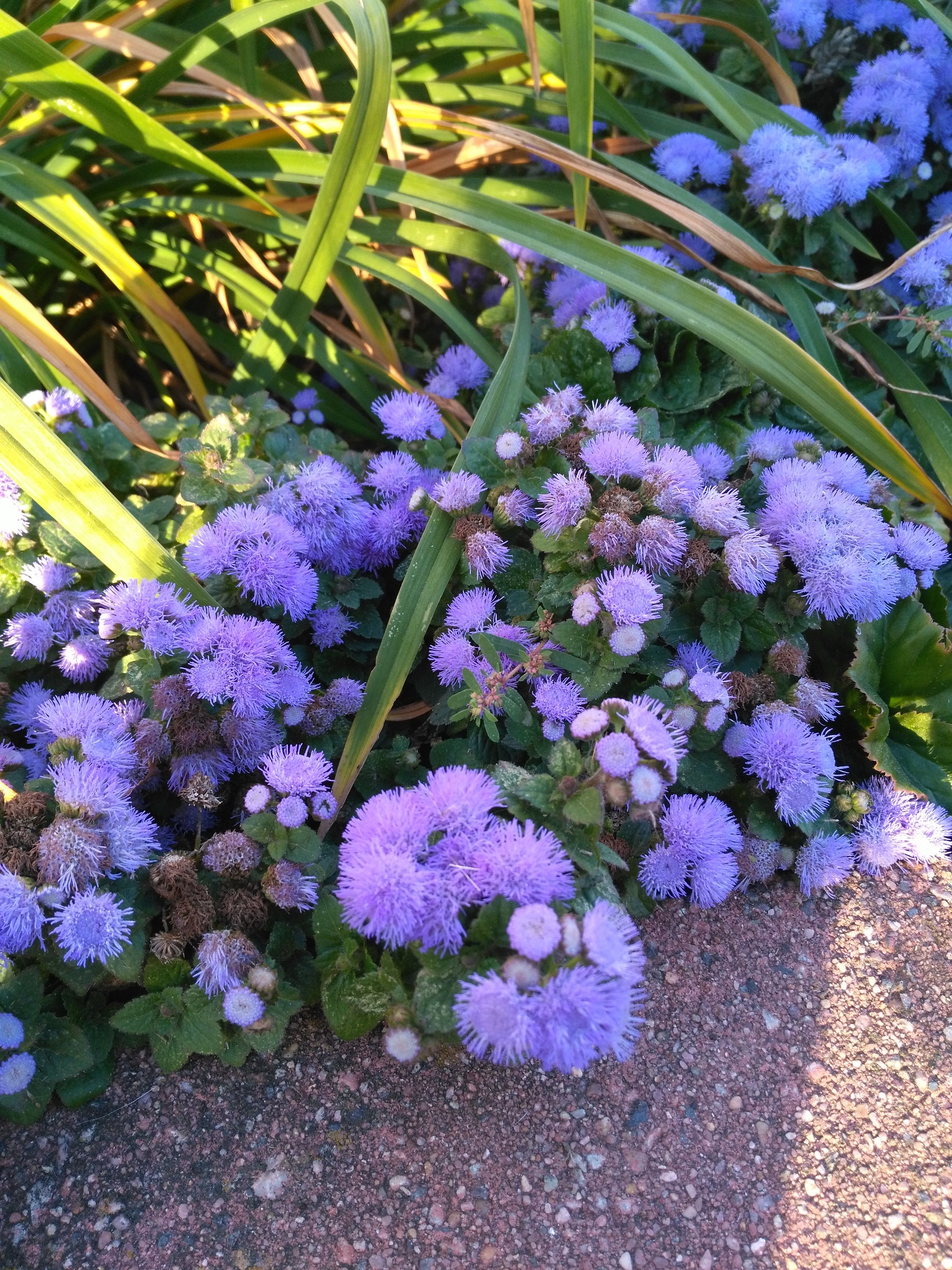 With Its Bright Blue Purple Flowers This Annual Caught Our Eye Blue Danube Floss Flower Ageratum Houstonian Blue And Purple Flowers Purple Flowers Plants