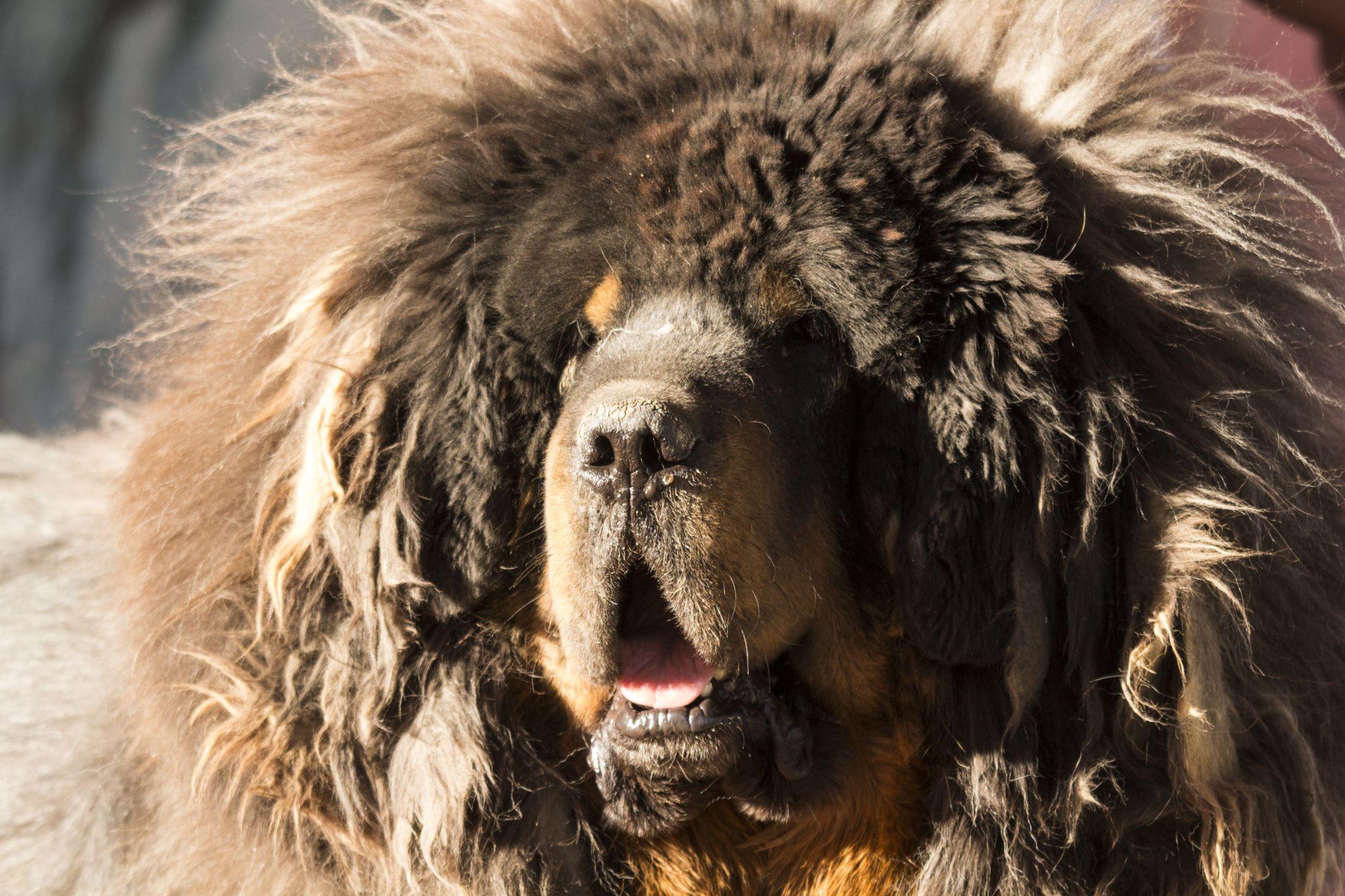 7 pets you can't afford Mastiff dog breeds, Tibetan