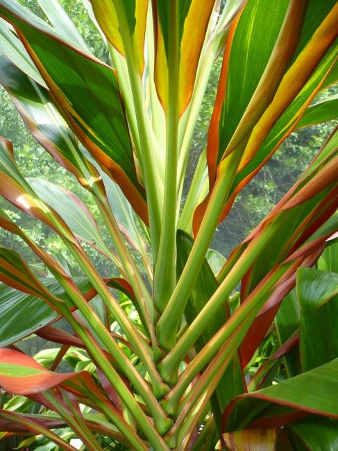Cordyline Fruticosa Schubertii Tropical Flower Plants Container Gardening Flowers Trees To Plant