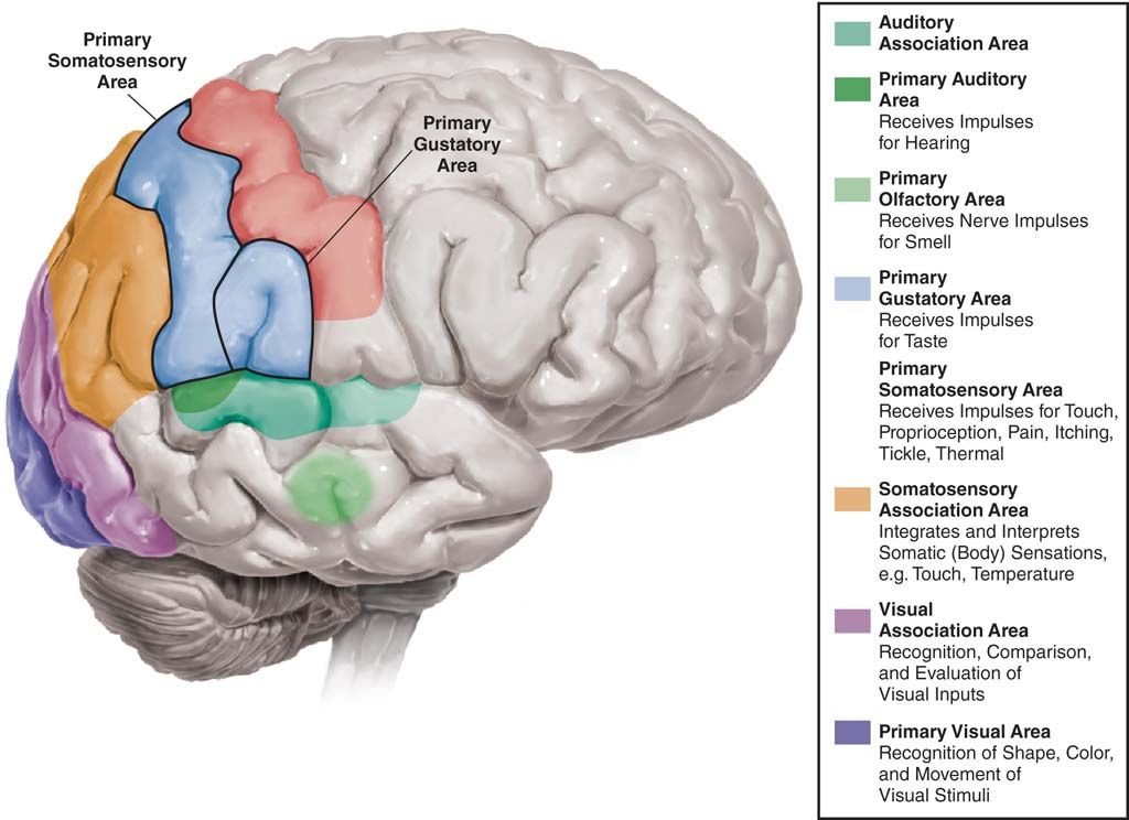 Diagram of the brain labeling the sensory areas of the the brain ...