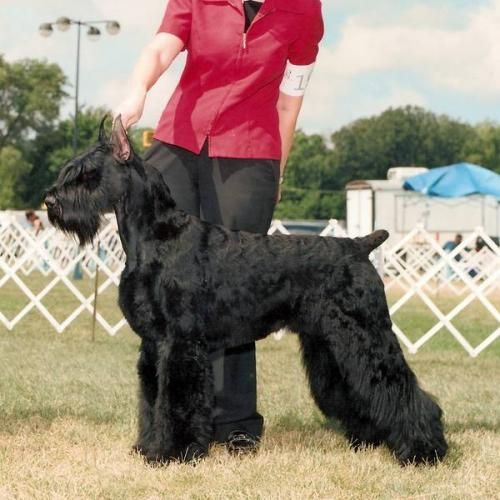 Giant Schnauzer Pictures Giant Schnauzer Puppies Ckc Health