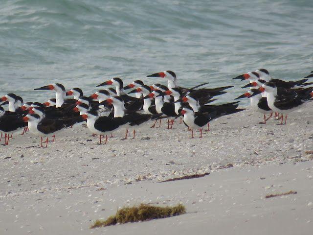 Bird Photos, Birding Sites, Bird Information: BLACK SKIMMERS ON BEACH & IN FLIGHT, CLAM PASS PAR...