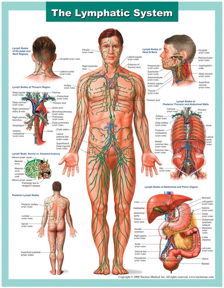 lymphatic system | Immunology: Lymphoid Tissues and Organs - Tejidos ...