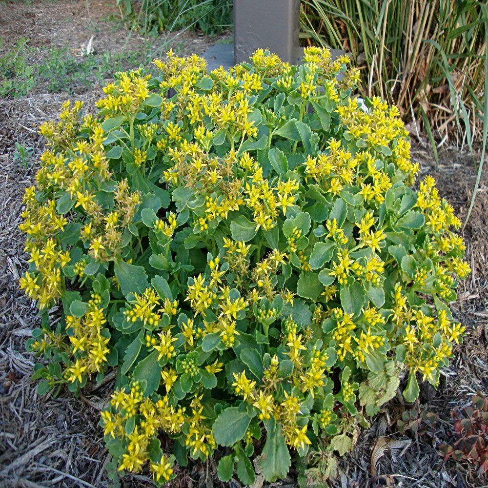 1 gal yellow stonecrop sedum plant home the ojays and yellow yellow stonecrop sedum plant mightylinksfo Images