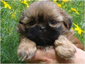 Country Home Shih Tzu Puppies For Sale In Massachusetts Connecticut New Hampshire Rhode Island New York New Jersey New England Home Of Shih Tzu Puppy Puppies For Sale Shih Tzu