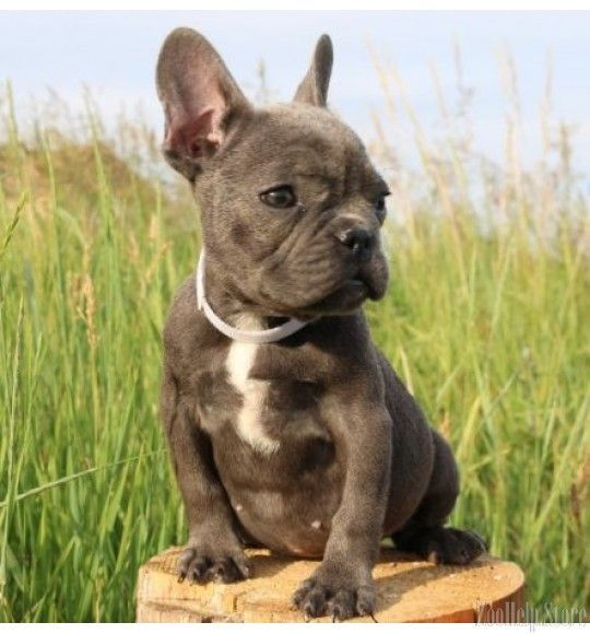 French Bulldogs Exclusive Puppies Price 1 999 Bulldogs