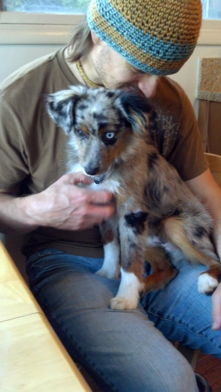 Image Result For Mini Australian Shepherd Full Grown Mini Australian Shepherds Mini Aussie Shepherd Australian Shepherd