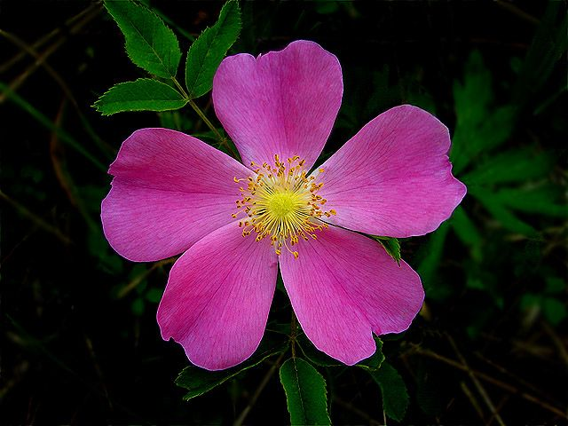 Wild Rose Iowa State Flower Travel Iowa Usa
