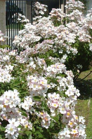 'Lyda Rose' Rose Photo