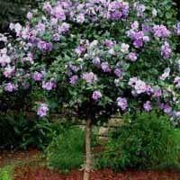 Rose Of Sharon Lavender Chiffon Tree Form Gardening Rose Of