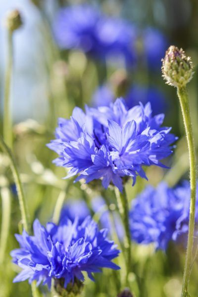 Cornflower Plants In Containers Can You Grow Bachelor S Buttons