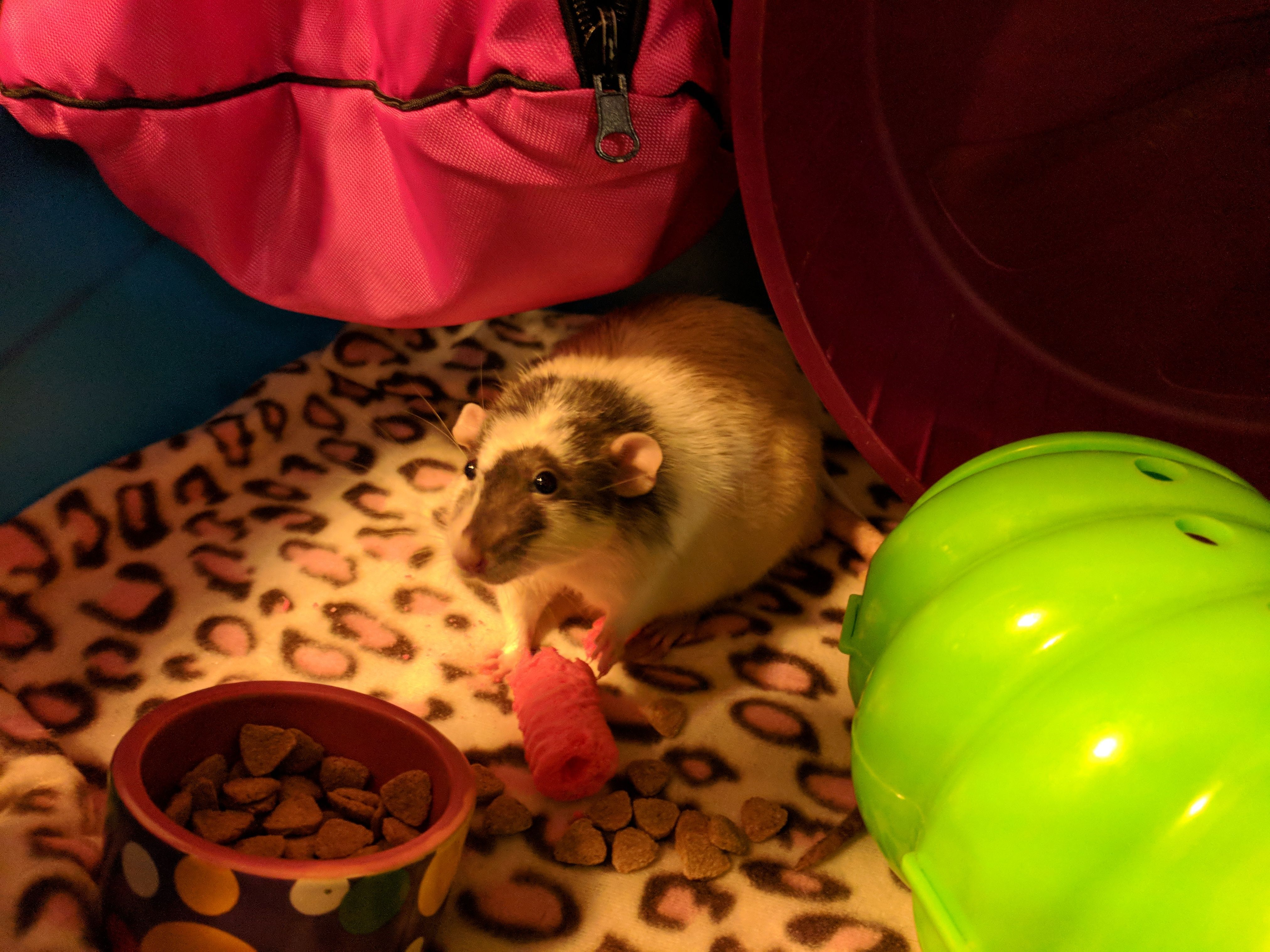 Adopt Yuki On With Images Cute Rats Pocket Pet Animal Rescue