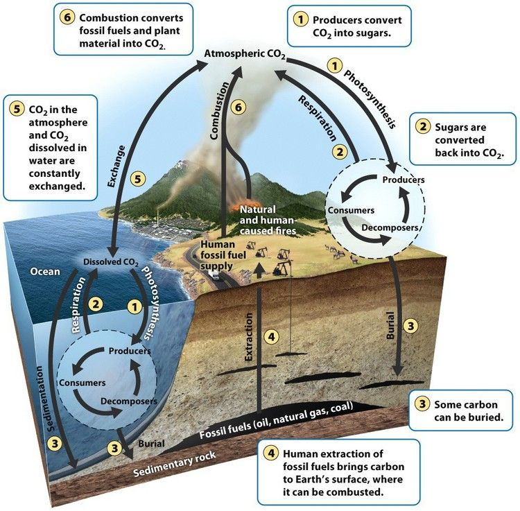 The carbon cycle Producers take up carbon from the atmosphere and
